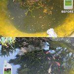 Envii Pond Klear - Algicide Pour Bassin Utilisant Des Bactéries Pour Éliminer L'eau Verte et Les Algues, Sans Risque Pour Les Poissons, Ni Les Animaux Domestiques - 1 Litre de la marque Envii image 1 produit